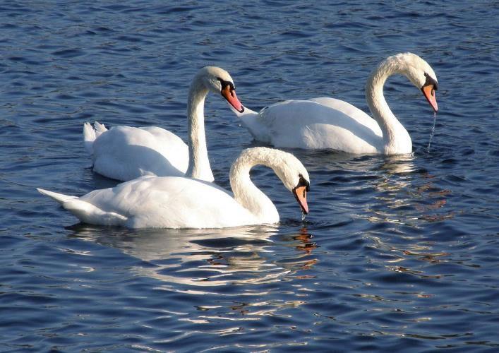 Пускат неми лебеди, конфискувани от частен дом, в езерото Вая